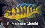 Click image for larger version.  Name:bumblebee-cichlid.jpg Views:87 Size:84.1 KB ID:294665