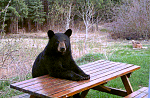 Click image for larger version.  Name:bear_picnic_table.png Views:58 Size:86.3 KB ID:304850