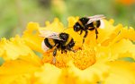 Click image for larger version.  Name:SIERRA Bumble Bee Pollen WB.jpeg Views:85 Size:33.0 KB ID:294664